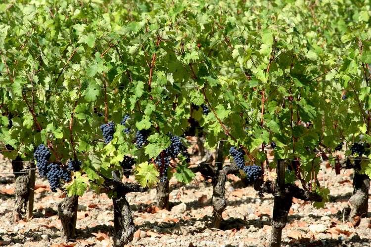 1280px-Chateau_Margaux_Cabernet_Sauvignon_vines