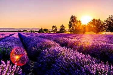 lavender_flower_province